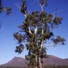 The-Cazneaux-Tree
