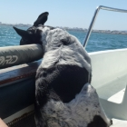 Seasick dog on way to Armona Island