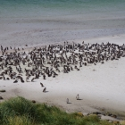 Magallenic penguins Gypsy Cove Falkland Islands