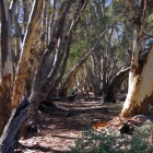 Gums-in-gully-at-Wilpena-Pound